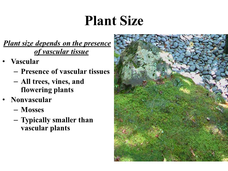 Plant Size Plant size depends on the presence of vascular tissue Vascular –Presence of vascular tissues –All trees, vines, and flowering plants Nonvas