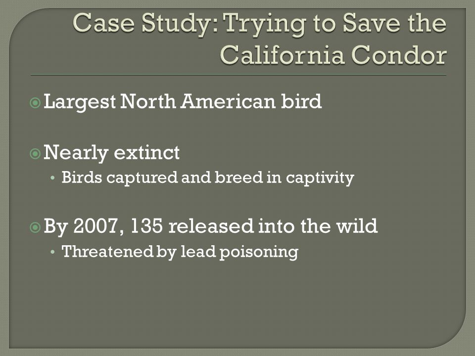  Largest North American bird  Nearly extinct Birds captured and breed in captivity  By 2007, 135 released into the wild Threatened by lead poisonin