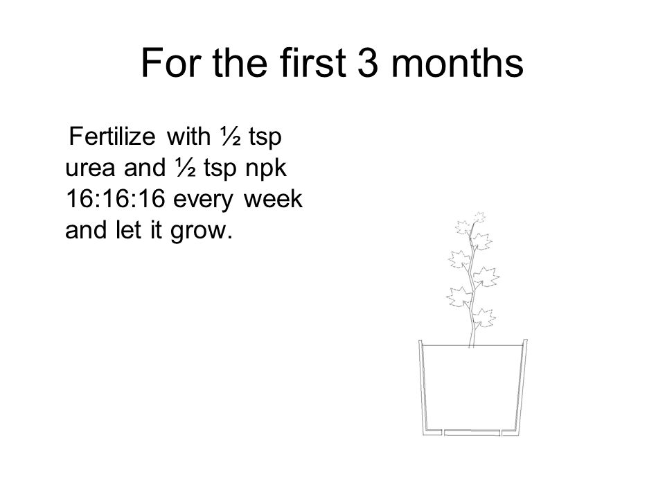 For the first 3 months Fertilize with ½ tsp urea and ½ tsp npk 16:16:16 every week and let it grow.