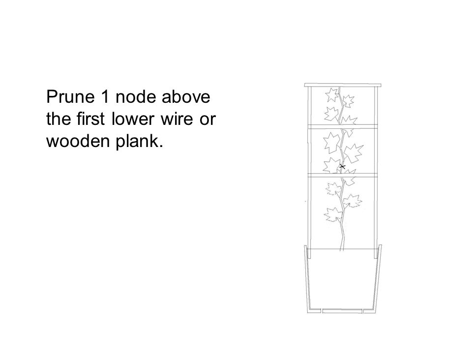 Prune 1 node above the first lower wire or wooden plank.