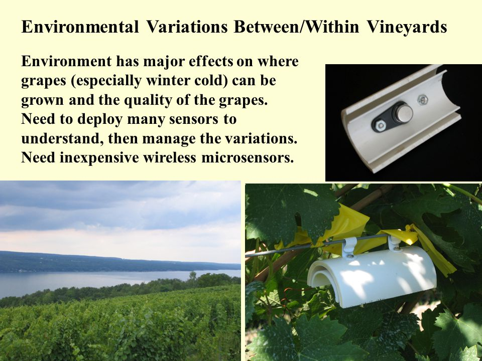 Environmental Variations Between/Within Vineyards Environment has major effects on where grapes (especially winter cold) can be grown and the quality of the grapes.