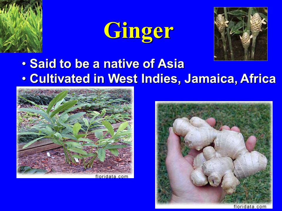 Ginger Said to be a native of Asia Said to be a native of Asia Cultivated in West Indies, Jamaica, Africa Cultivated in West Indies, Jamaica, Africa