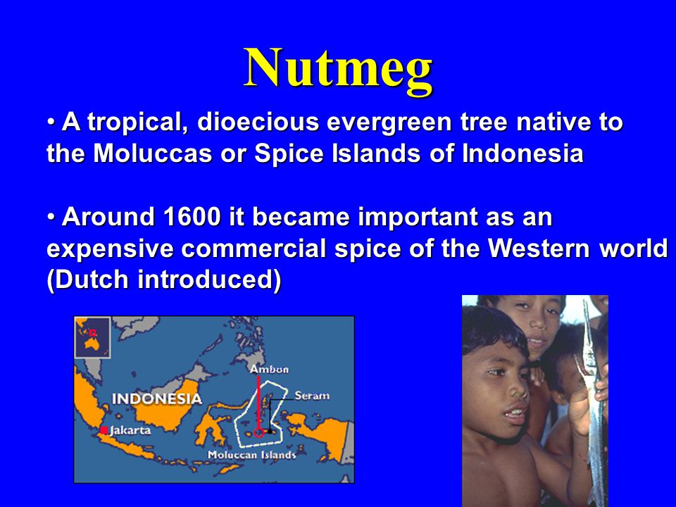 Nutmeg A tropical, dioecious evergreen tree native to the Moluccas or Spice Islands of Indonesia A tropical, dioecious evergreen tree native to the Moluccas or Spice Islands of Indonesia Around 1600 it became important as an expensive commercial spice of the Western world (Dutch introduced) Around 1600 it became important as an expensive commercial spice of the Western world (Dutch introduced)