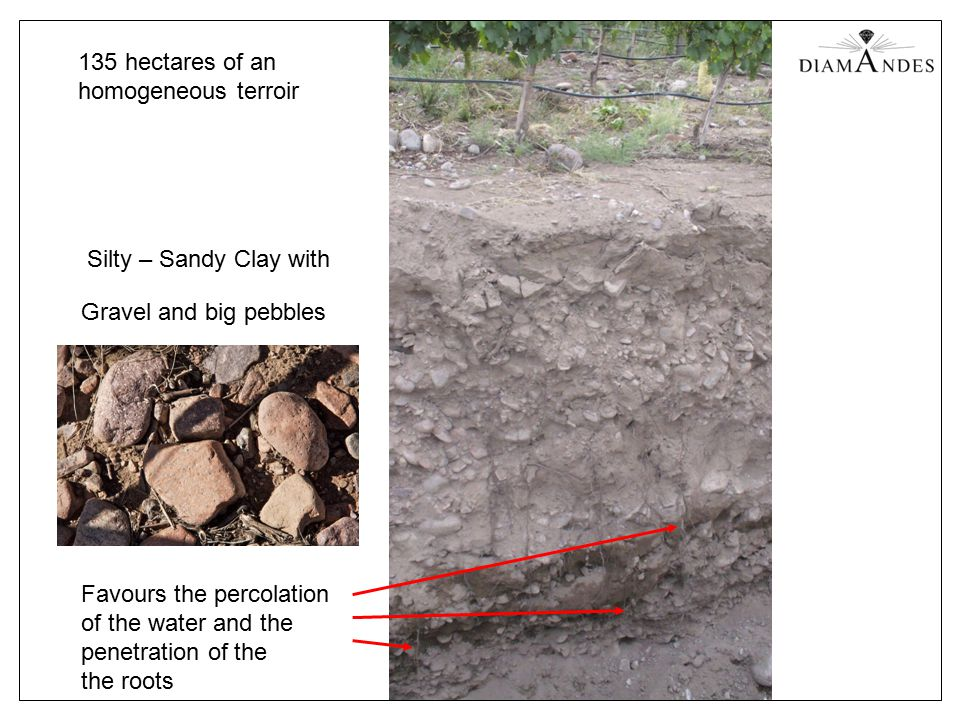 135 hectares of an homogeneous terroir Silty – Sandy Clay with Favours the percolation of the water and the penetration of the the roots Gravel and big pebbles