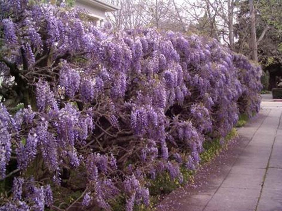 Wisteria In Bloom Song - Winter Created for Joy