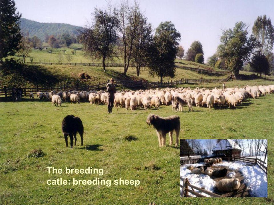 The breeding catle: breeding sheep