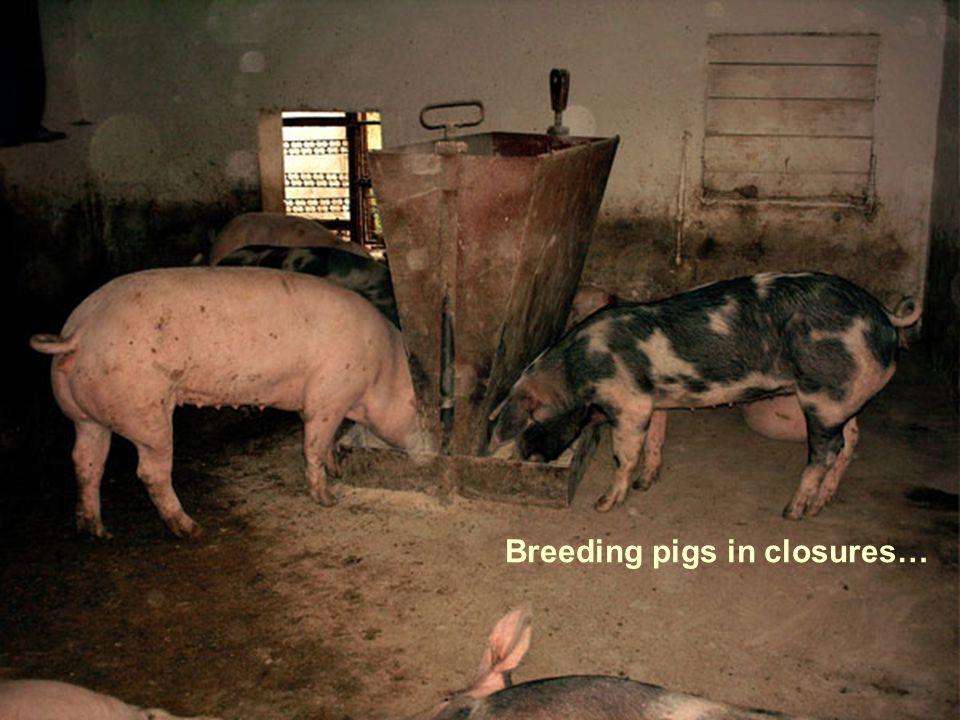 Breeding pigs in closures…