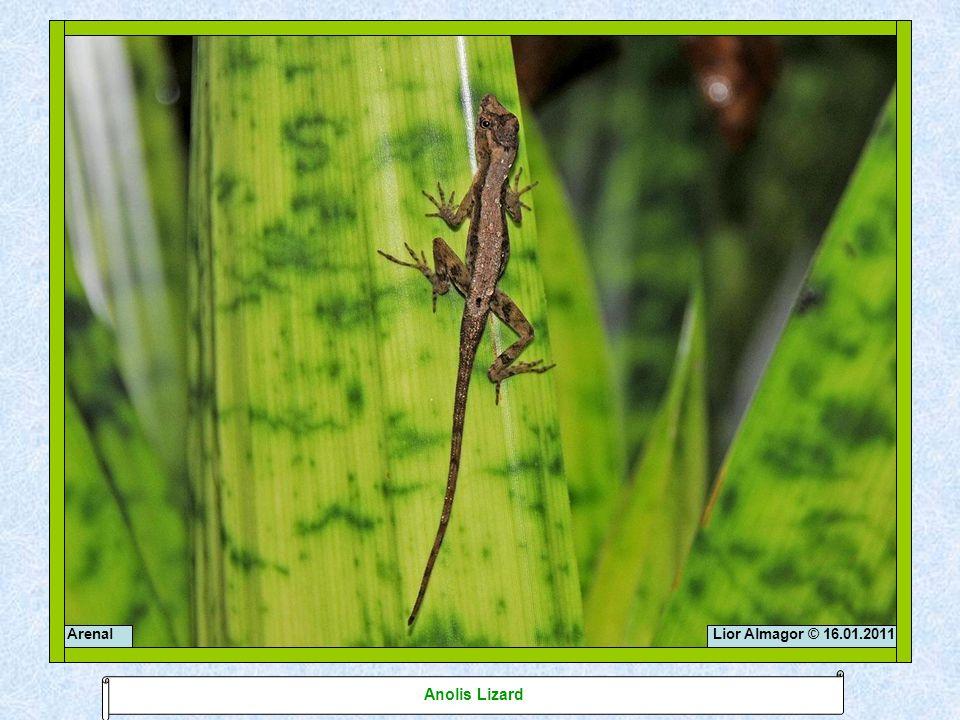 Lior Almagor © 16.01.2011Arenal Anolis Lizard
