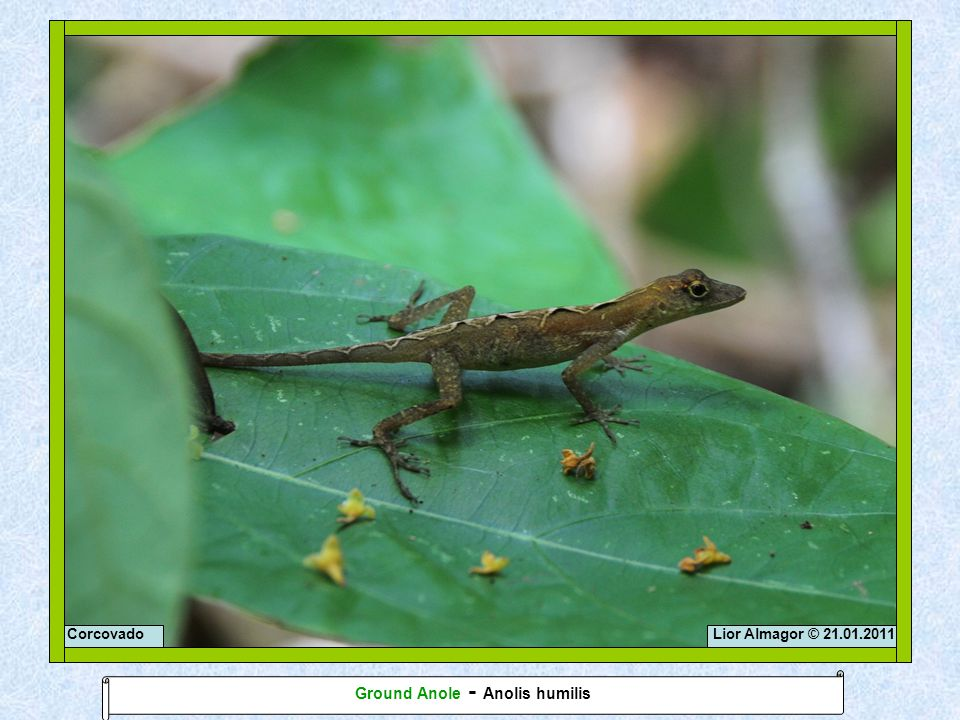 Lior Almagor © 21.01.2011Corcovado Ground Anole - Anolis humilis