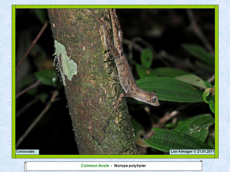 Lior Almagor © 21.01.2011Corcovado Common Anole - Norops polylrpisr