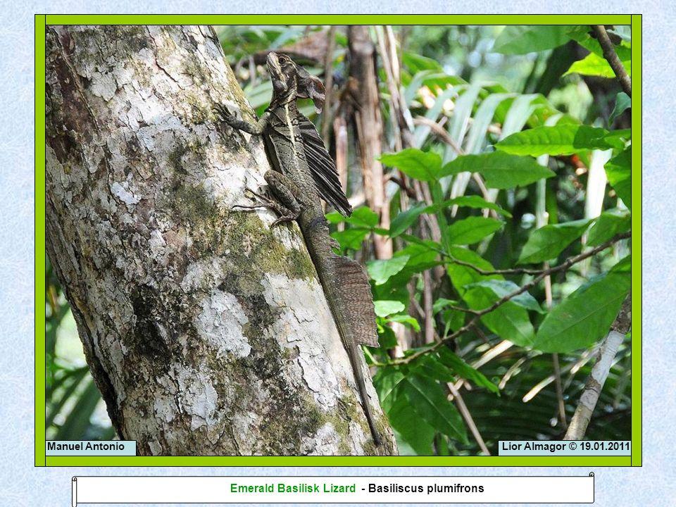 Lior Almagor © 19.01.2011Manuel Antonio Emerald Basilisk Lizard - Basiliscus plumifrons