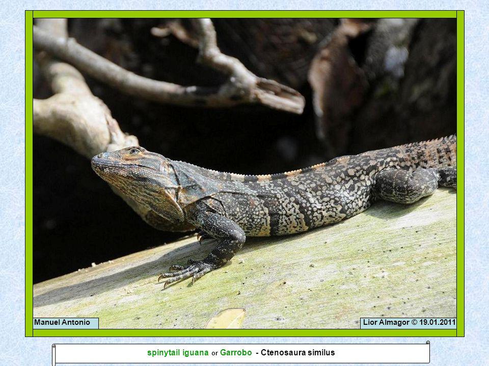 Lior Almagor © 19.01.2011Manuel Antonio spinytail iguana or Garrobo - Ctenosaura similus