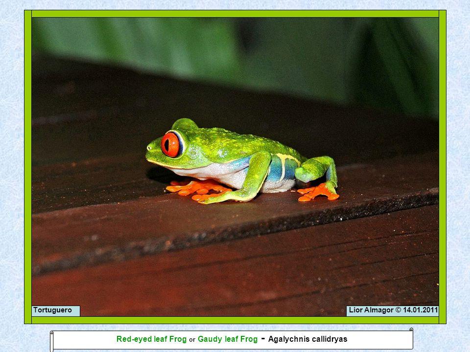 Lior Almagor © 14.01.2011Tortuguero Red-eyed leaf Frog or Gaudy leaf Frog - Agalychnis callidryas