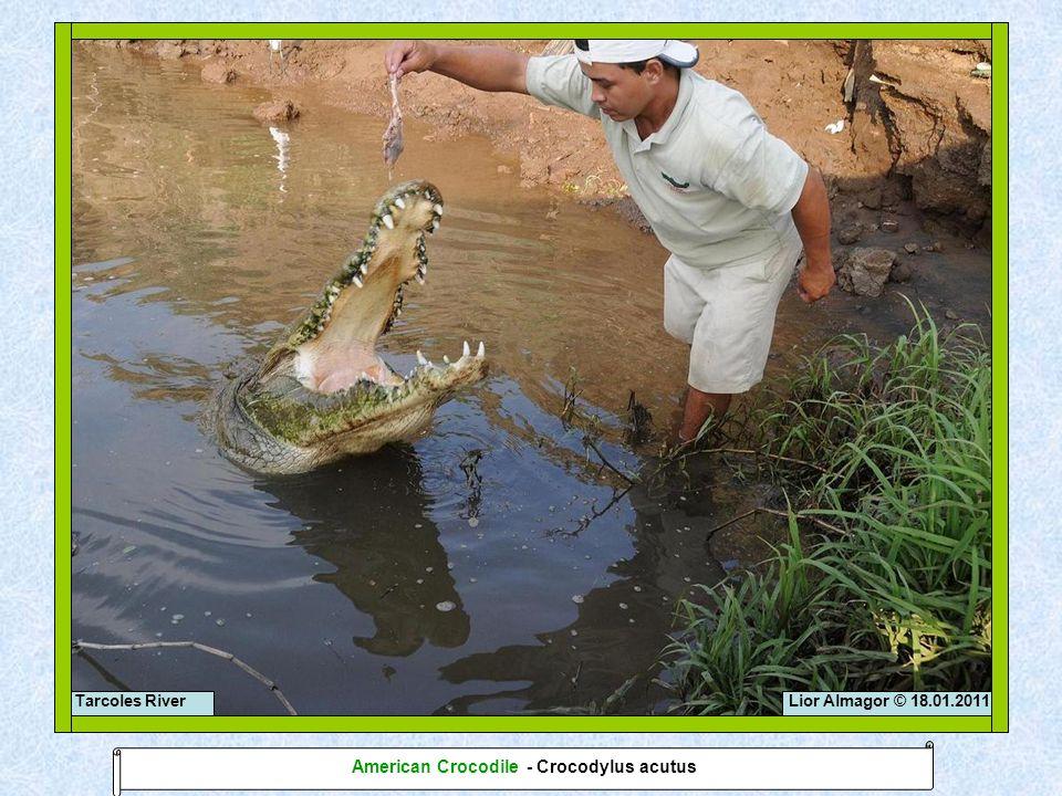 Lior Almagor © 18.01.2011Tarcoles River American Crocodile - Crocodylus acutus