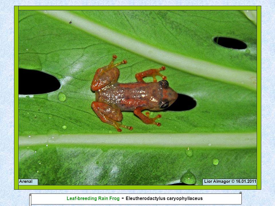 Lior Almagor © 16.01.2011Arenal Leaf-breeding Rain Frog - Eleutherodactylus caryophyllaceus