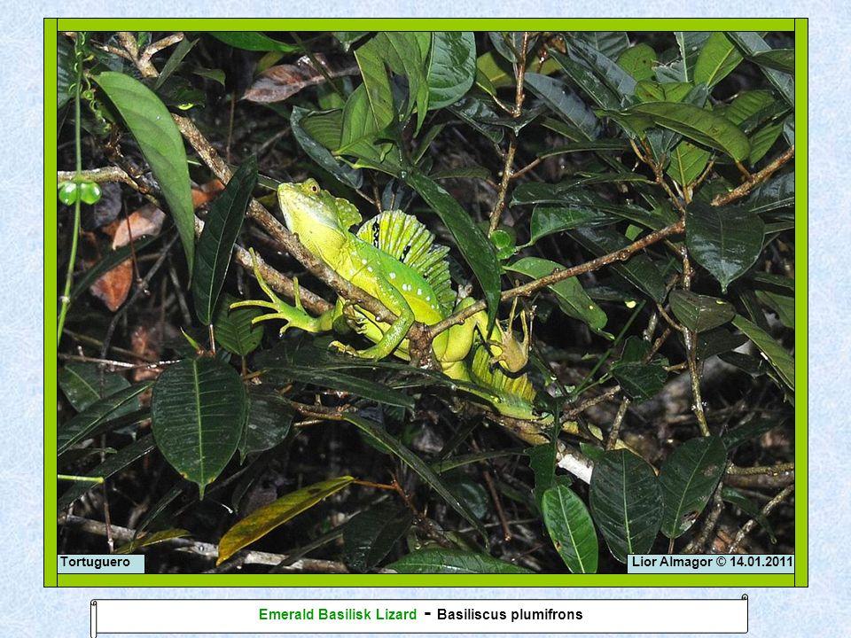 Lior Almagor © 14.01.2011Tortuguero Emerald Basilisk Lizard - Basiliscus plumifrons