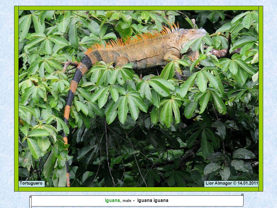 Lior Almagor © 14.01.2011Tortuguero Iguana, male - Iguana iguana