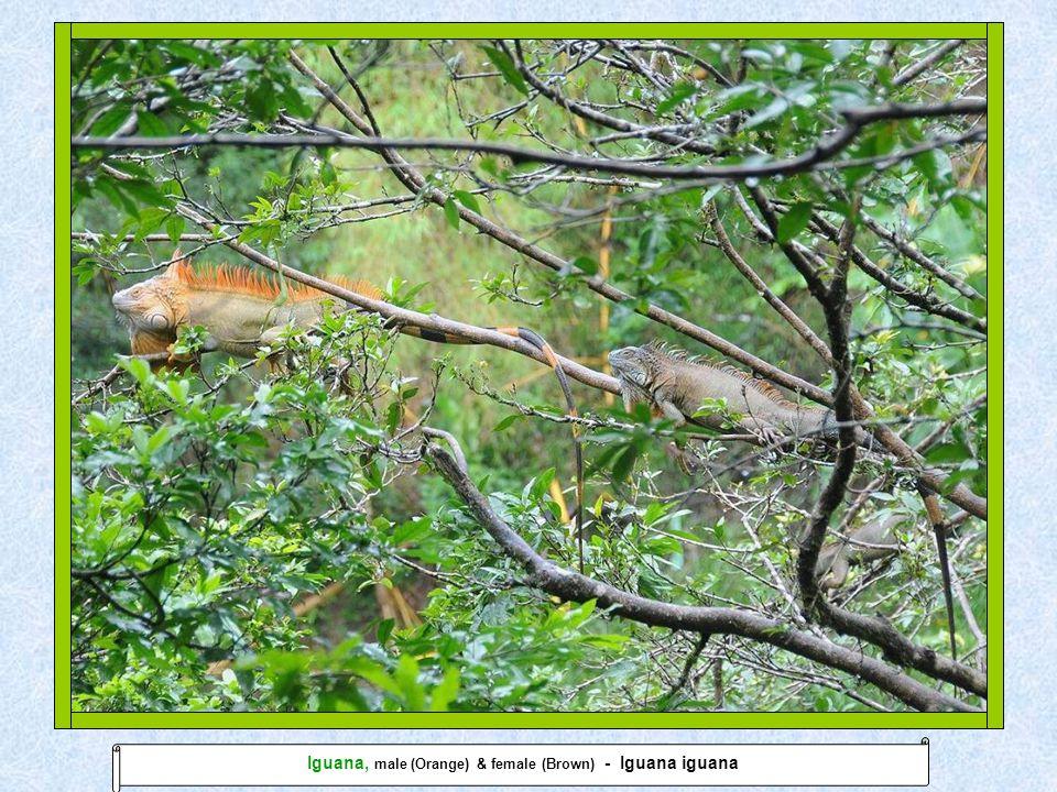 Lior Almagor © 19.01.2011Manuel Antonio Iguana, male (Orange) & female (Brown) - Iguana iguana
