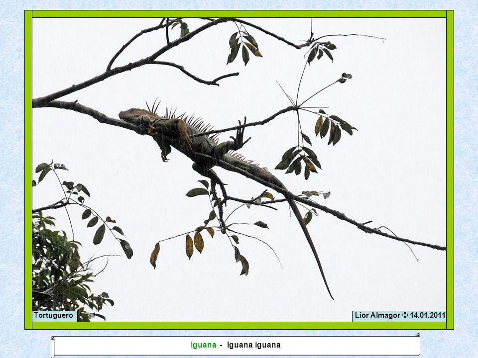 Lior Almagor © 14.01.2011Tortuguero Iguana - Iguana iguana