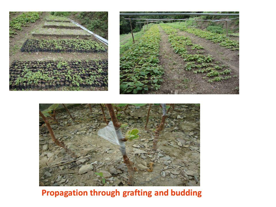 Propagation through grafting and budding