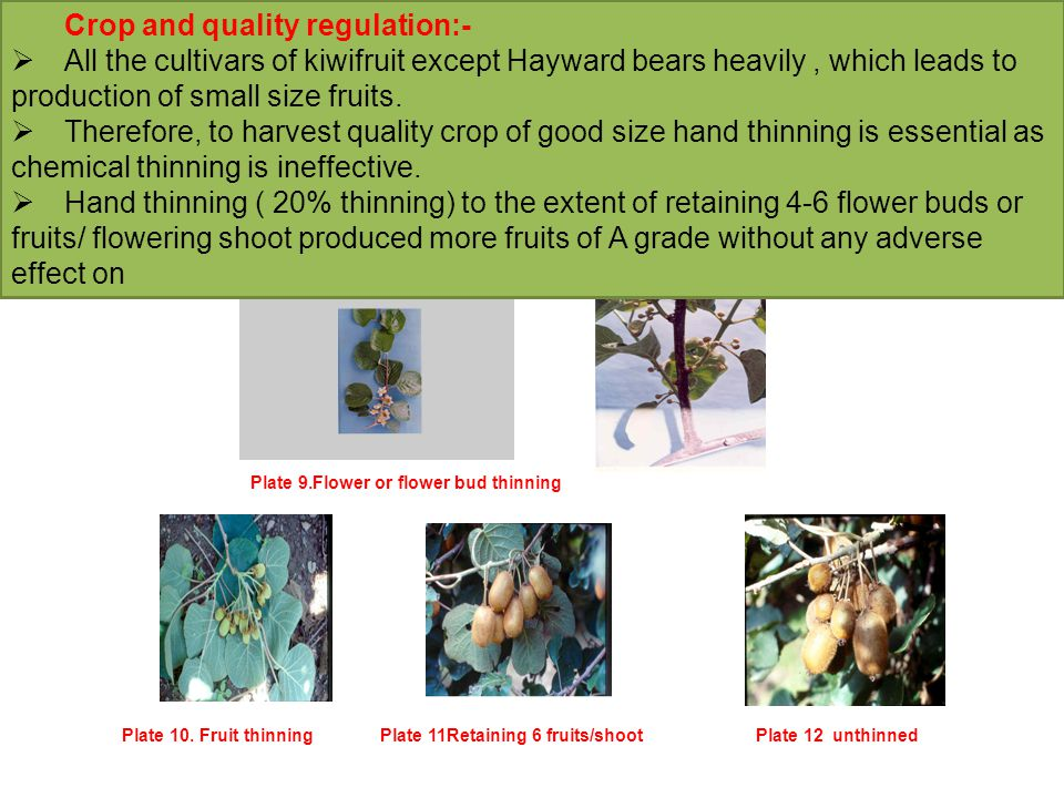Crop and quality regulation:-  All the cultivars of kiwifruit except Hayward bears heavily, which leads to production of small size fruits.