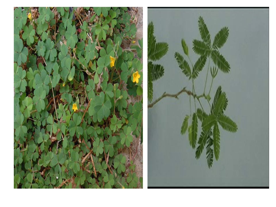 http://www.uccs.edu/~ppbotany/Colo_family/Oxalid/oxalis_stricta_P.htm