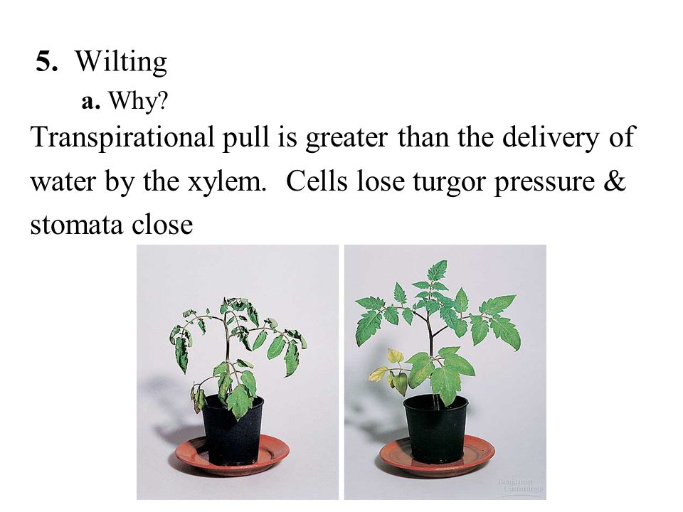 a. Why. Transpirational pull is greater than the delivery of water by the xylem.