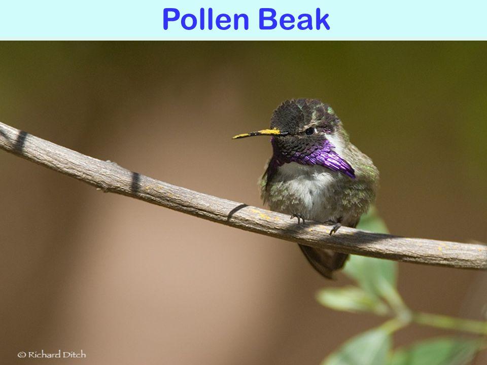 Pollen Beak