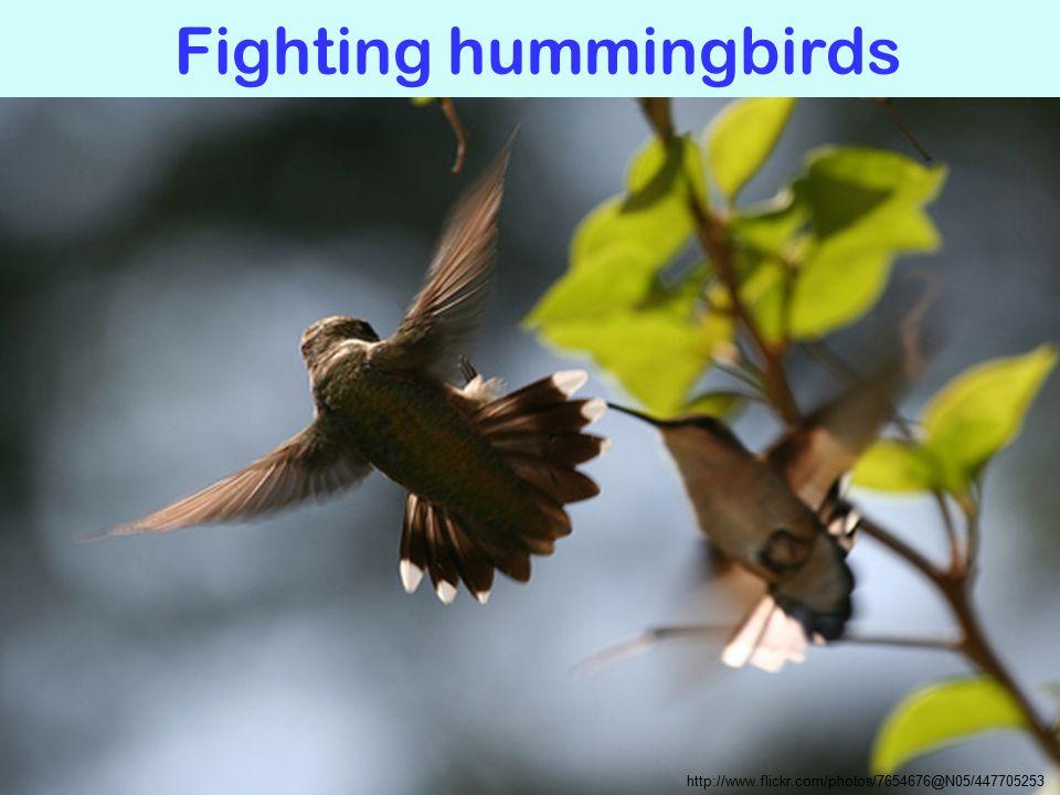 Fighting hummingbirds http://www.flickr.com/photos/7654676@N05/447705253