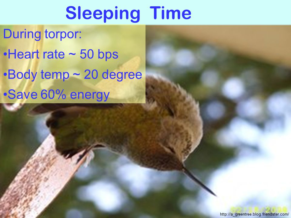 Sleeping Time http://a_greentree.blog.friendster.com/ During torpor: Heart rate ~ 50 bps Body temp ~ 20 degree Save 60% energy