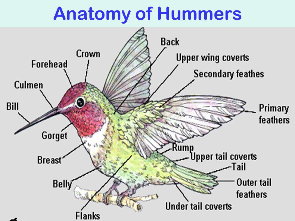 Anatomy of Hummers