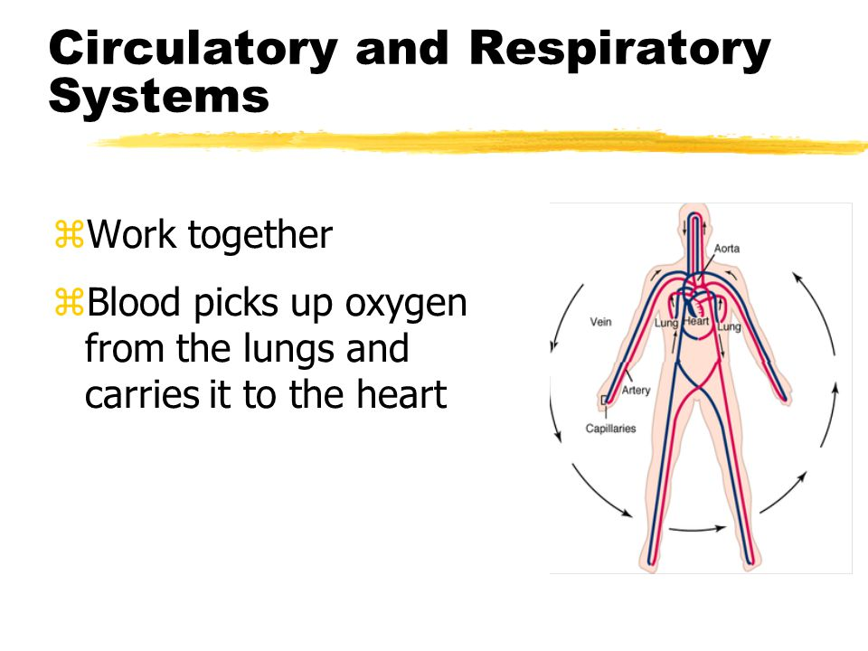 Circulatory and Respiratory Systems zWork together zBlood picks up oxygen from the lungs and carries it to the heart