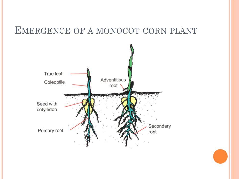 E MERGENCE OF A MONOCOT CORN PLANT