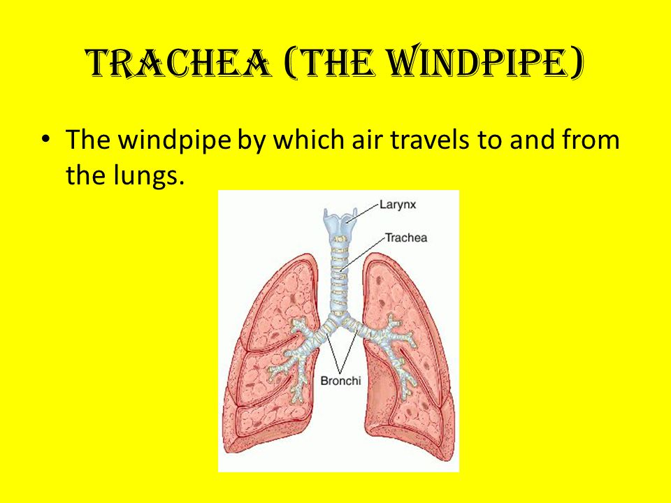 Trachea (the windpipe) The windpipe by which air travels to and from the lungs.