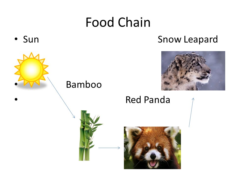 Food Chain Sun Snow Leapard Bamboo Red Panda
