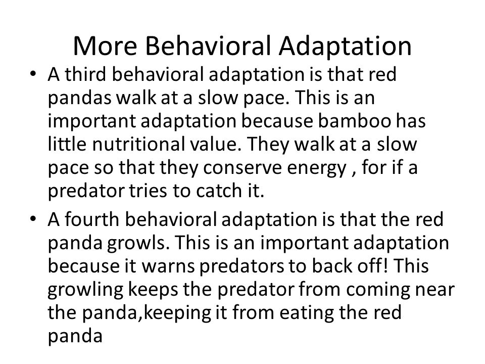 More Behavioral Adaptation A third behavioral adaptation is that red pandas walk at a slow pace.