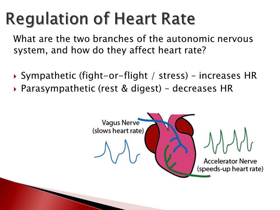 What are the two branches of the autonomic nervous system, and how do they affect heart rate?  Sympathetic (fight-or-flight / stress) – increases HR