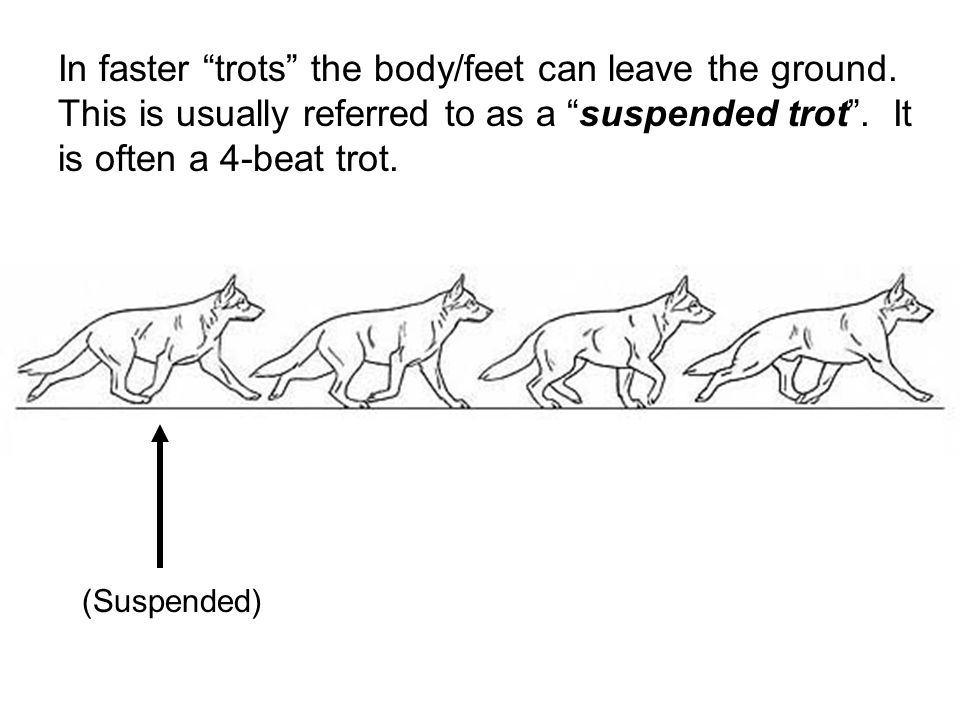 In faster trots the body/feet can leave the ground.
