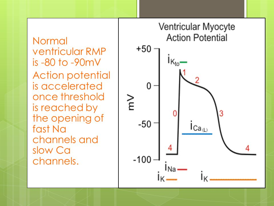 The ventricles Normal ventricular RMP is -80 to -90mV Action potential is accelerated once threshold is reached by the opening of fast Na channels and slow Ca channels.