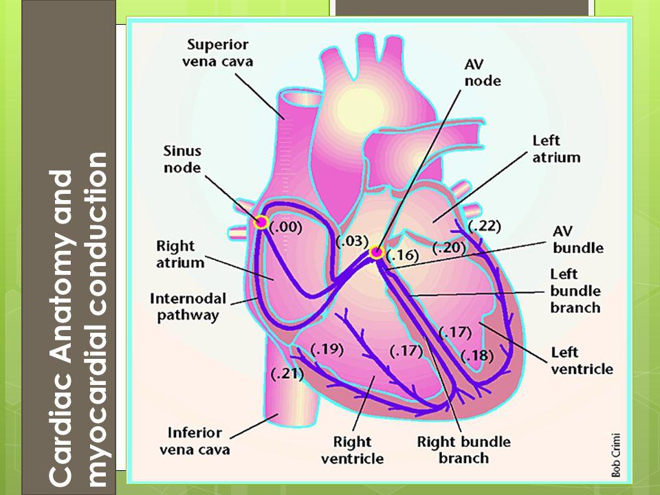 Cardiac Anatomy and myocardial conduction
