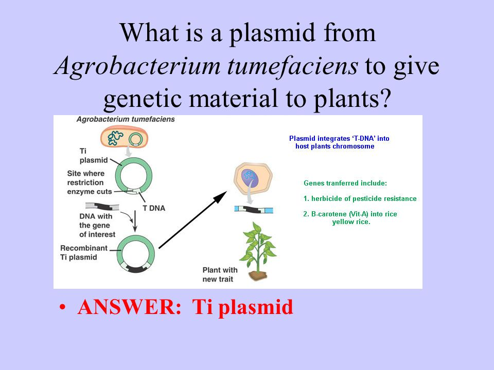 What is a plasmid from Agrobacterium tumefaciens to give genetic material to plants? ANSWER: Ti plasmid