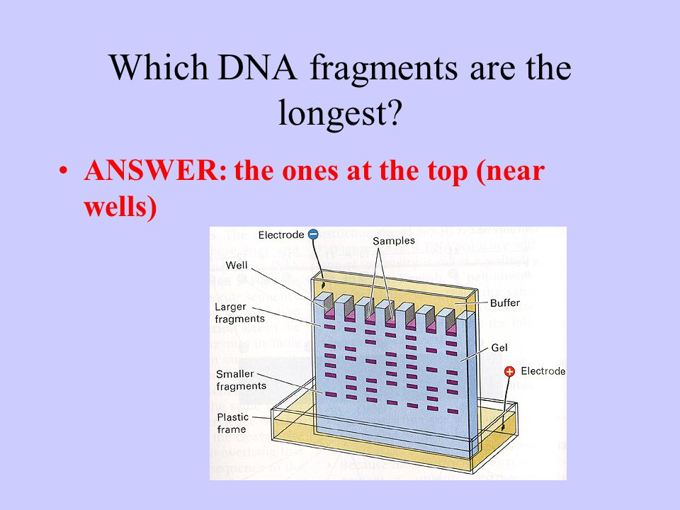 Which DNA fragments are the longest ANSWER: the ones at the top (near wells)