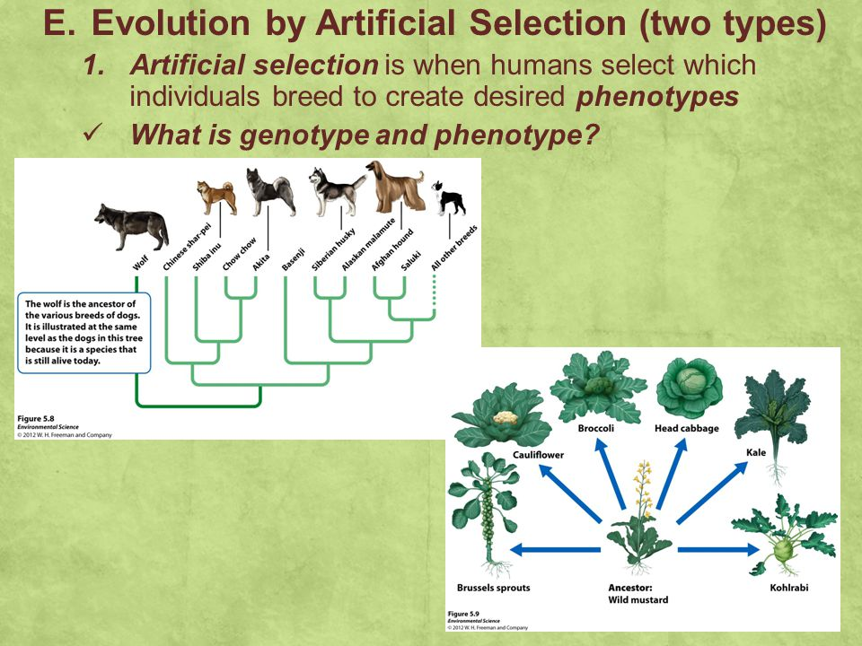 E. Evolution by Artificial Selection (two types) 1. Artificial selection is when humans select which individuals breed to create desired phenotypes Wh