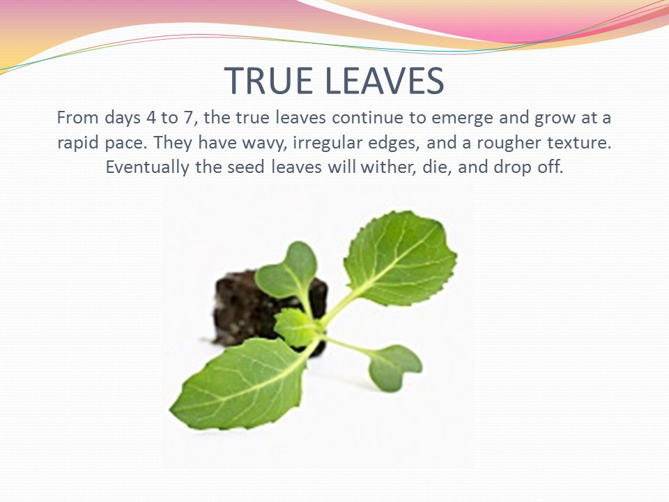 TRUE LEAVES From days 4 to 7, the true leaves continue to emerge and grow at a rapid pace. They have wavy, irregular edges, and a rougher texture. Eve