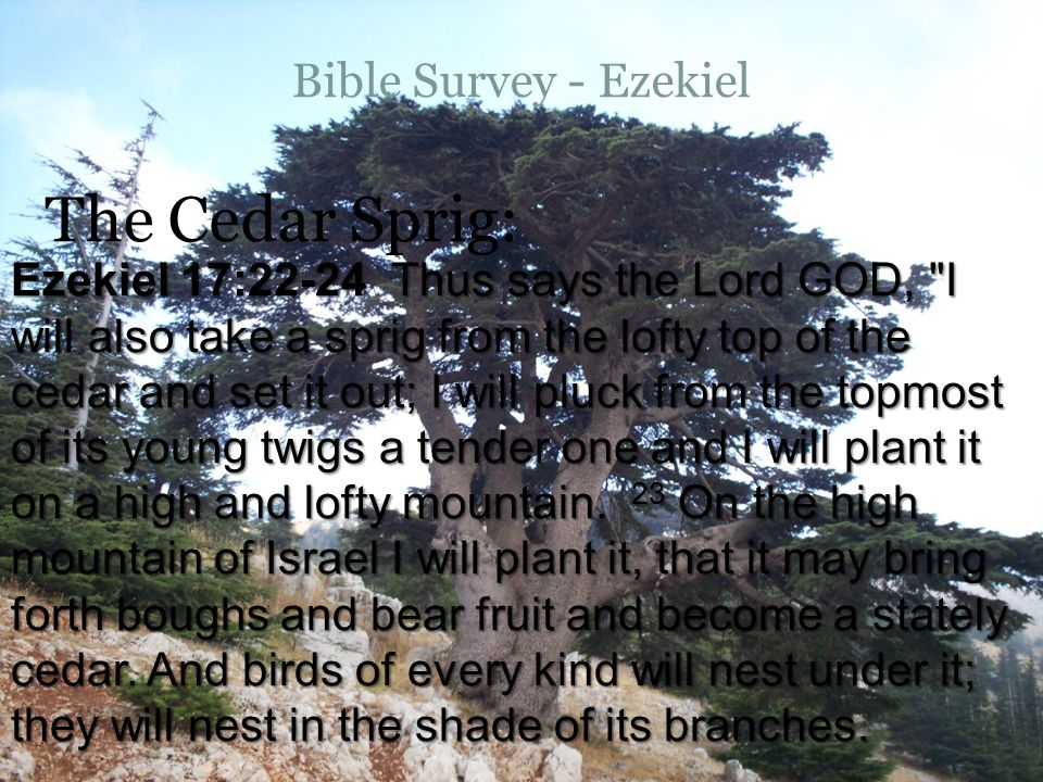 Bible Survey - Ezekiel The Cedar Sprig: Ezekiel 17:22-24 Thus says the Lord GOD, I will also take a sprig from the lofty top of the cedar and set it out; I will pluck from the topmost of its young twigs a tender one and I will plant it on a high and lofty mountain.