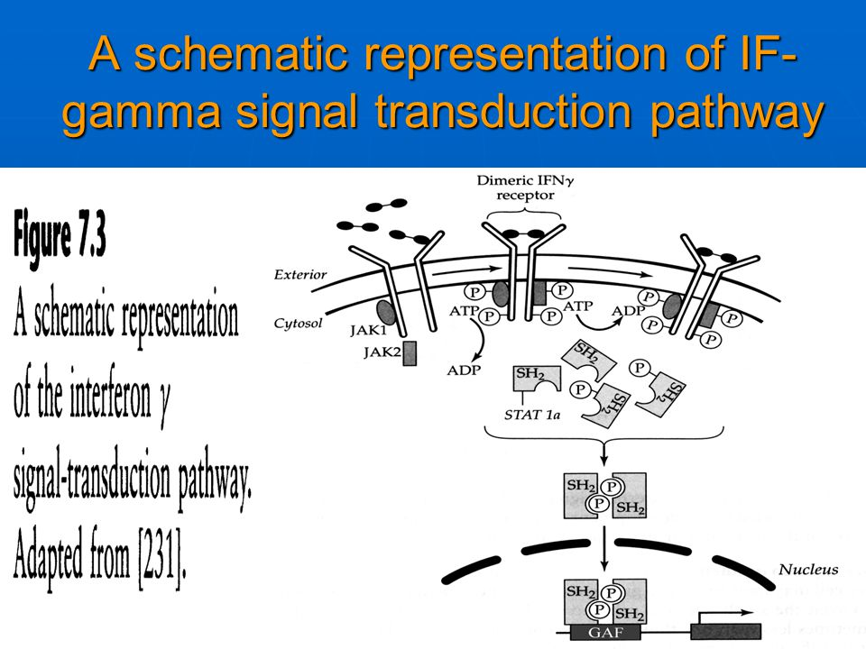 A schematic representation of IF- gamma signal transduction pathway