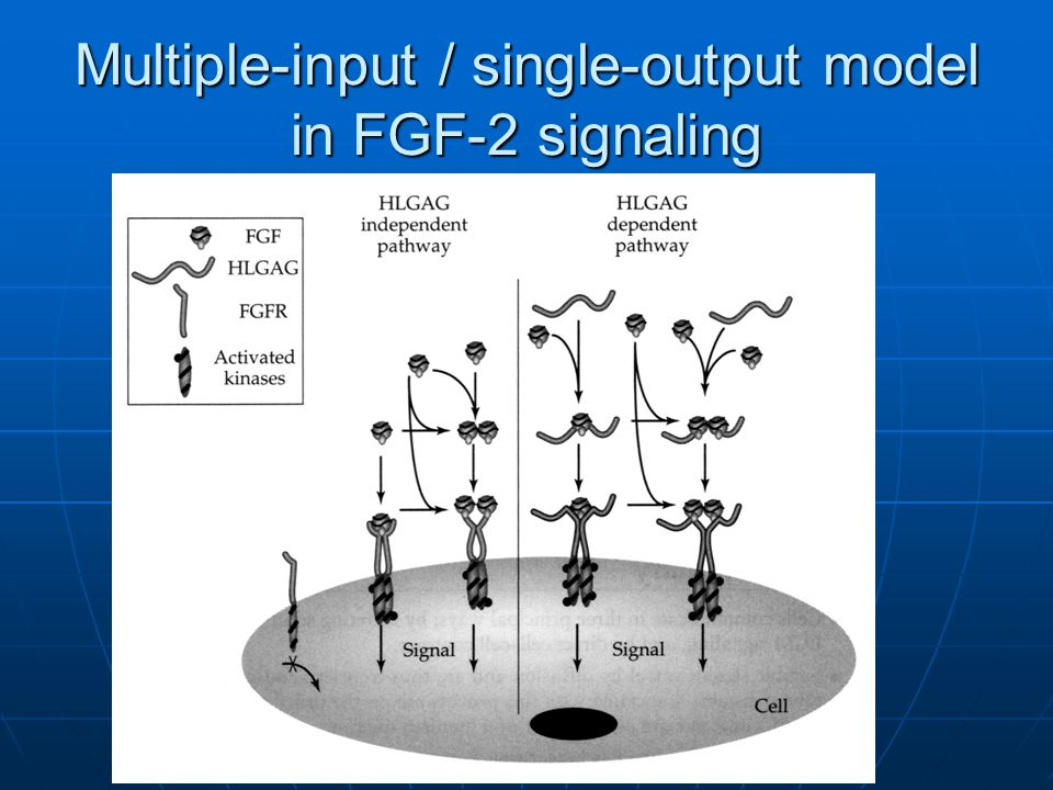 Multiple-input / single-output model in FGF-2 signaling