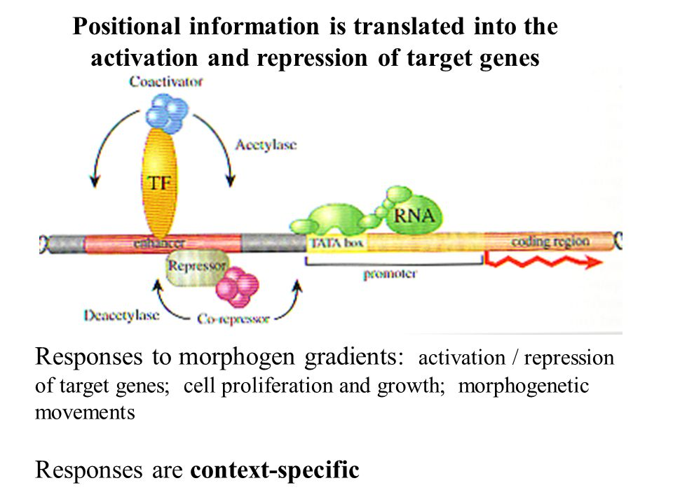 Positional information is translated into the activation and repression of target genes Responses to morphogen gradients: activation / repression of target genes; cell proliferation and growth; morphogenetic movements Responses are context-specific