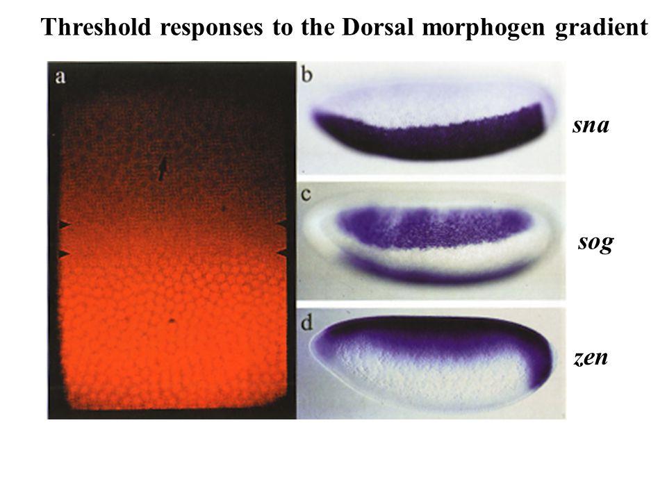 Threshold responses to the Dorsal morphogen gradient sna sog zen