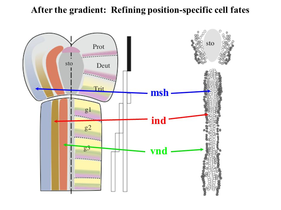 msh ind vnd After the gradient: Refining position-specific cell fates